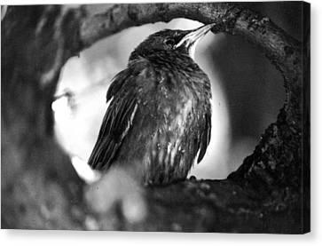 Canvas Print featuring the photograph Dax's Bird by Tarey Potter