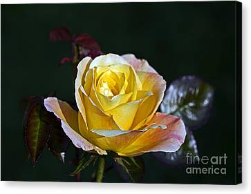 Canvas Print featuring the photograph Day Breaker Rose by Kate Brown