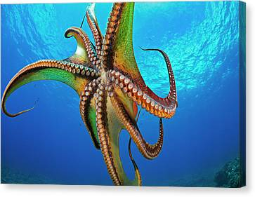 Jet-propelled Canvas Print - Day Octopus  Octopus Cyanea by Dave Fleetham