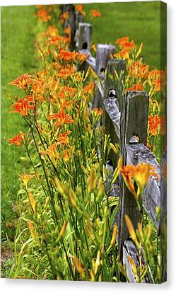 Daylilies Along Fence Canvas Print