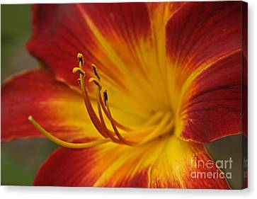 Daylily Close Up II Canvas Print