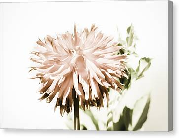 Canvas Print featuring the photograph Dazzling Dahlia by Sherri Meyer