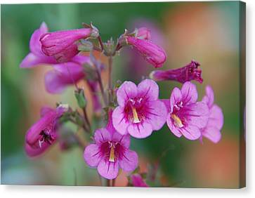 Canvas Print featuring the photograph Pink Flowers by Tam Ryan