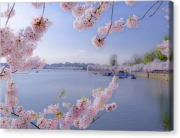 Dc Cherry Blossoms On Tidal Basin Canvas Print