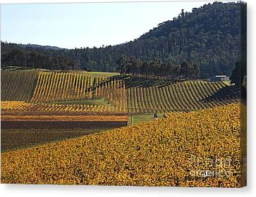 golden vines-Victoria-Australia Canvas Print