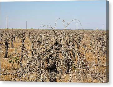 Grape Vines Canvas Print - Dead And Dying Grape Vines by Ashley Cooper