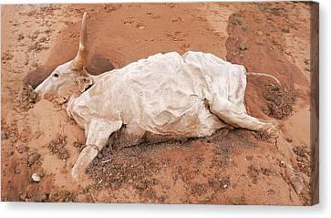 Senegal Canvas Print - Dead Cow by Thierry Berrod, Mona Lisa Production