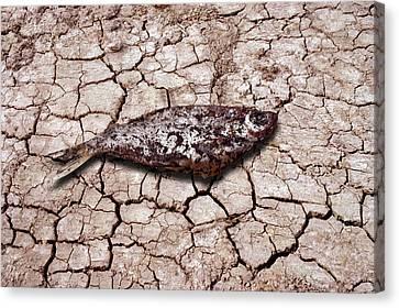 Dead Fish On Cracked Earth Canvas Print