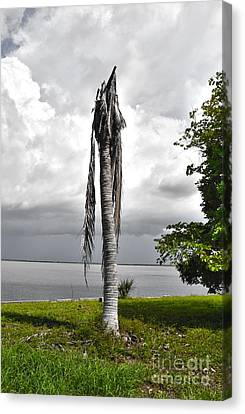 Canvas Print featuring the photograph Dead Palm by Timothy Lowry