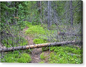 Dead Pine Trees Blocking A Hiking Trail Canvas Print by Jim West