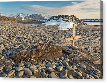 Dead Seal On Breidamerkursandur Canvas Print by Panoramic Images