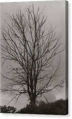 Dead Tree Canvas Print by Amarildo Correa