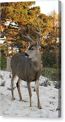 Dear In The Dunes II Canvas Print by Barbara Snyder