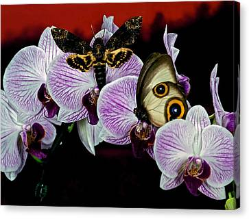 Death Heads Moth Meets Silky Owl Butterfly On Orchid Flower Canvas Print by Leslie Crotty