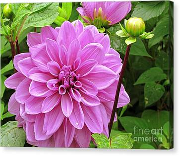 Decadent Dahlia   Canvas Print