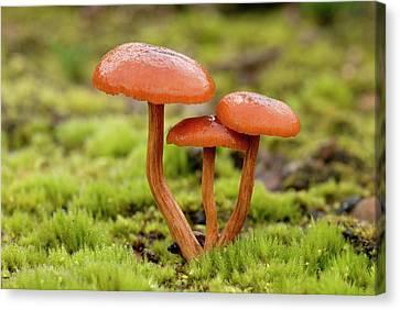 Deceiver Fungi (laccaria Laccata) Canvas Print