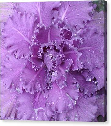 #decorative #cabbage #plant After A Canvas Print by Stacey Lewis