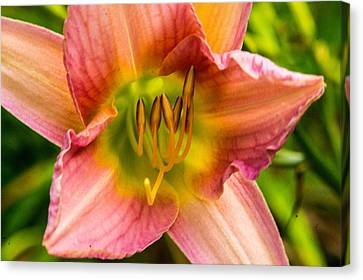 Deep In The Heart Of The Lily Canvas Print by Douglas Barnett