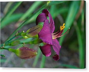 Deep Purple Lily And Buds Canvas Print
