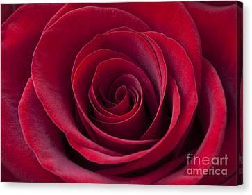 Close Up Canvas Print - Deep Red Rose by Simon Kayne