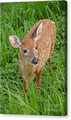 Deer 42 Canvas Print