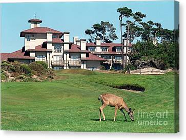 Deer At Spanish Bay Canvas Print by James B Toy