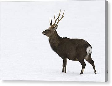 Deer In Snow Canvas Print by Maurizio Bacciarini