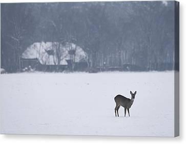 Deer In The Snow In Drenthe Netherlands Canvas Print