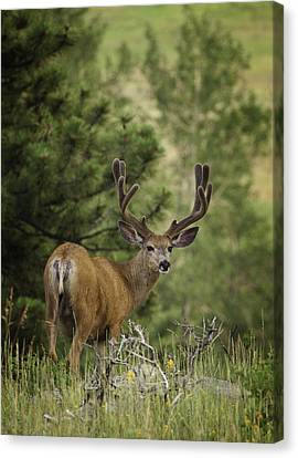 Metalic Canvas Print - Deer In Velvet by Darren  White