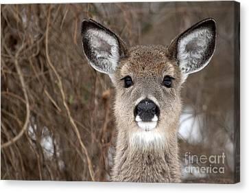 Deer Canvas Print by Jeannette Hunt