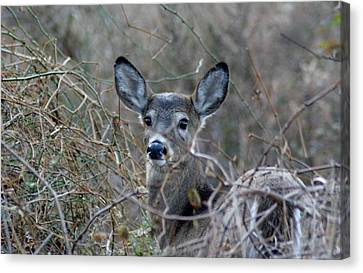 Canvas Print featuring the photograph Deer by Karen Silvestri