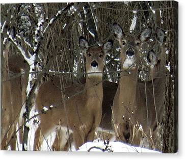 Deer Posing For Picture Canvas Print