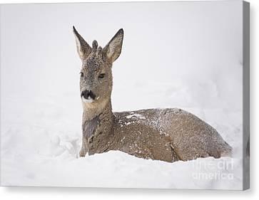 Deer Resting In Snow Canvas Print