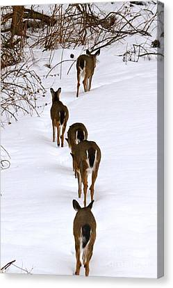 Canvas Print featuring the photograph Deer Trail by Jay Nodianos