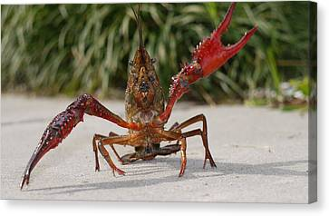Defiant Crawfish Canvas Print