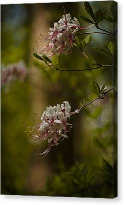 Delicate  Canvas Print by Cindy Rubin