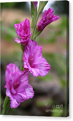 Delicate Gladiolus Canvas Print