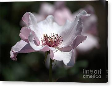 Delicate Pink Canvas Print by Sharon Elliott