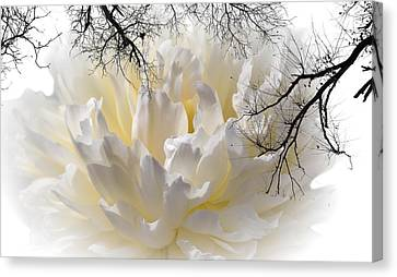 Delicate Canvas Print by Sherman Perry