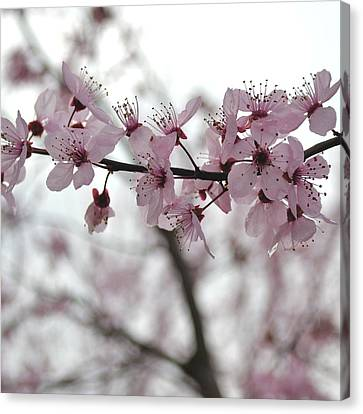 Delicate Spring Canvas Print