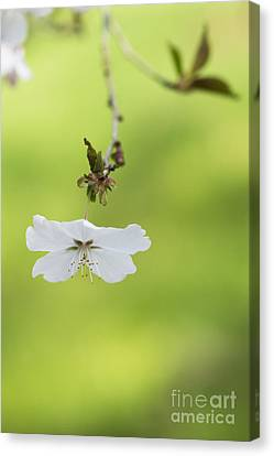 Delicate  Canvas Print by Tim Gainey