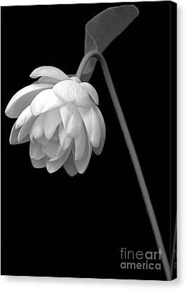 Demure Lotus Canvas Print