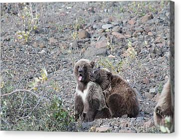 Denali Grizzly Cubs Canvas Print by David Wilkinson