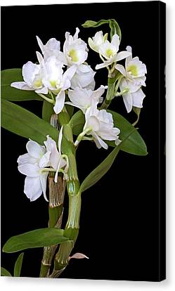 Dendrobium Nobile Orchid Canvas Print by Dr. Nick Kurzenko