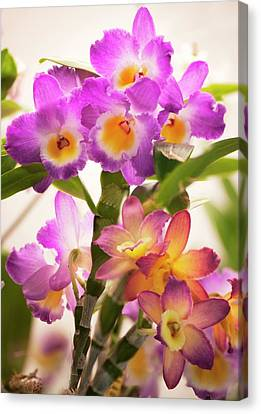 Dendrobium Nobile Orchid Canvas Print by Maria Mosolova
