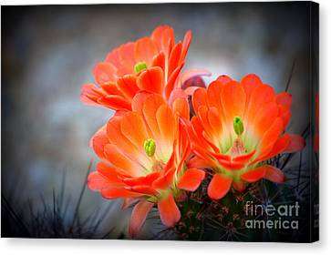 Desert Ablaze  Canvas Print by Ruth Jolly