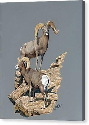 Desert Bighorn Rams Canvas Print