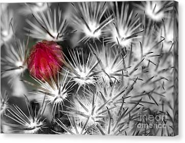 Desert Bloom Bw Canvas Print by C Ray  Roth