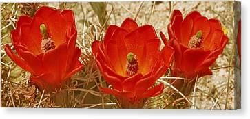 Desert Blooms Canvas Print by Ben and Raisa Gertsberg