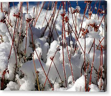 Desert Buckwheat In Snow Canvas Print by Diana Shay Diehl